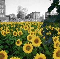 Farmadelphia_Sunflowers_194px