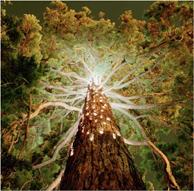 schlaepfer_christmas tree_194px